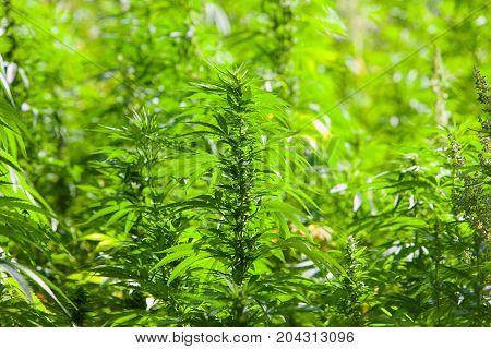 Field of green marijuana cannabis field hashish cannabis background leaf of marijuana plant.