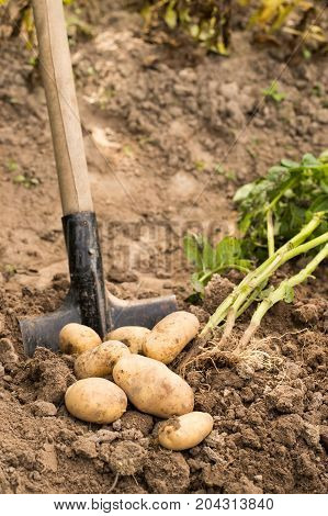 Garden Shovel In Agricultural Ground With Ripe Yellow Potatoes. Seasonal Time Harvesting.