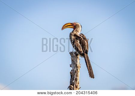 Yellow-billed Hornbill Sitting On A Stump.