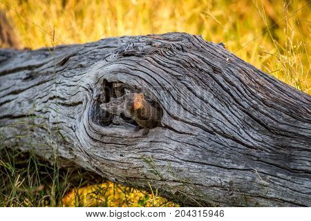 Dwarf Mongoose Hiding In A Tree Trunk.