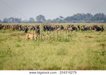 Lion Walking In Front Of Blue Wildebeests.