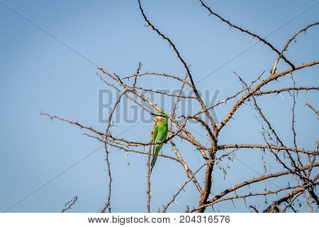 Blue-cheeked Bee-eater Sitting On A Branch.