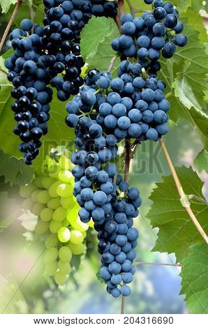Clusters of blue ripe grapes in a garden