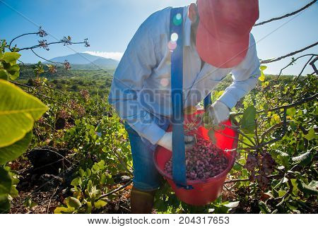 Pistachio picker at work with his red pail during harvest season in Bronte Sicily and Mount Etna in the distance