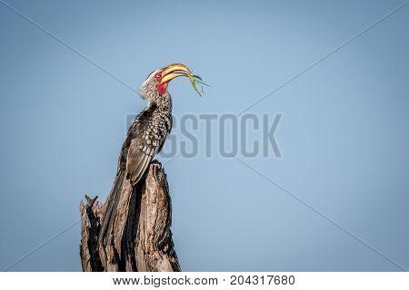 Yellow-billed Hornbill With Praying Matis.