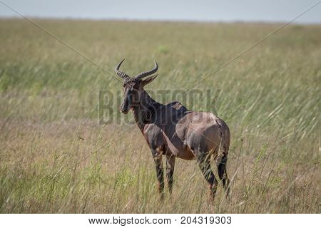 Red Hartebeest Standing In The Grass.