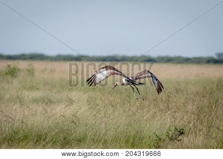 Juvenile Saddle-billed Stork Flying Away.