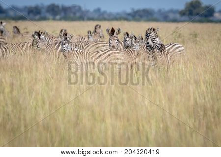 Group Of Zebras Standing In The High Grass.