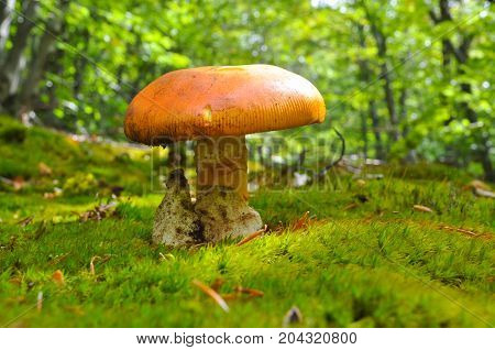 Caesar's mushroom (Amanita caesarea) grows in moss in the forest. Most delicious mushroom in the world