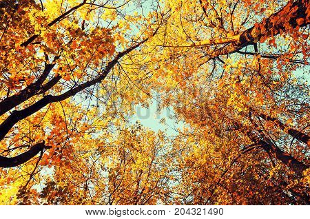 Fall tree tops- golden fall trees tops against the sky. Fall background with golden fall trees in the fall forest. Beautiful fall season in the cloudy weather. Fall trees