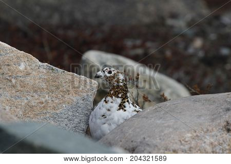 Rock Ptarmigan (Lagopus Muta) hiding among rocks showing the start of summer colours, near Arviat, Nunavut