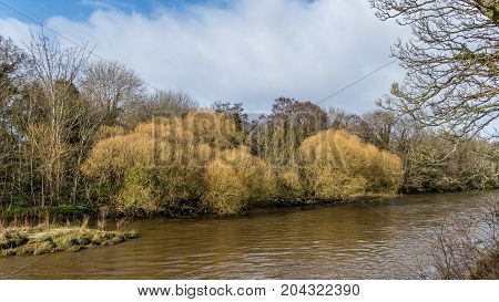 Willow trees on the bank of the River Doon, Ayrshire.