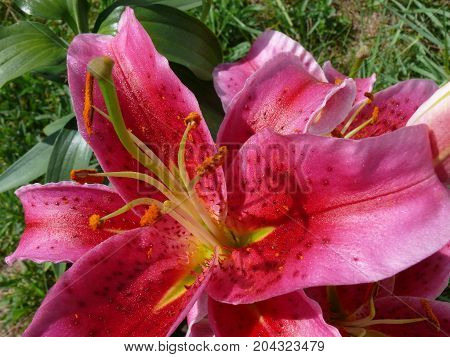 Lily lys in Quebec. Canada north America