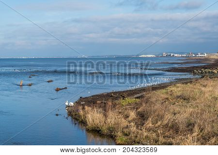 Swans and other sea birds on the Ayrshire coast.