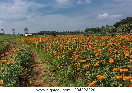 Mysore India - October 27 2013: In Ranganathapur a field under a blue sky with white clouds grows thousands of orange Marigold flowers. Rural scenery with distant farm building and green trees.