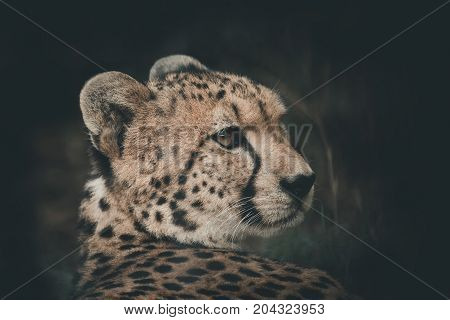 Cheetah rested but the eyes still look victim. black tear-like streaks on the face Endangered on the IUCN Red List color vintage style South Africa