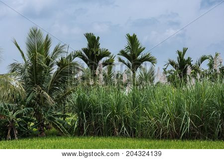 Mysore India - October 27 2013: In Senapathihalli village rice banana cane sugar and Coconut palm grow in close proximity under bluish sky. Shades of green.