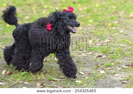 Dog of the Poodle breed, combed and cut, braided plaits. Space under the text. 2018 year of the dog in the eastern calendar Concept: parodist dogs, dog friend of man, true friends, rescuers.