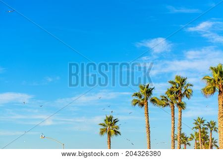 Seagulls flying over palm trees in California USA
