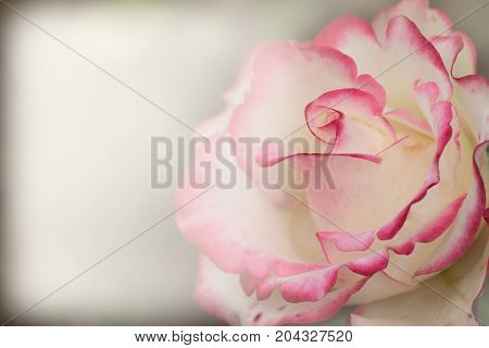 Fancy White Rose With Hot Pink Edges Closeup. Contrast.the Background For The Label