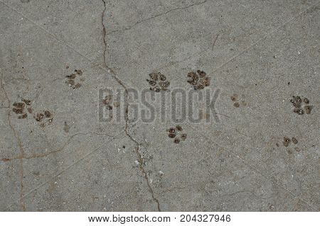 Dog paws animal tracks imprinted on concrete surface background.