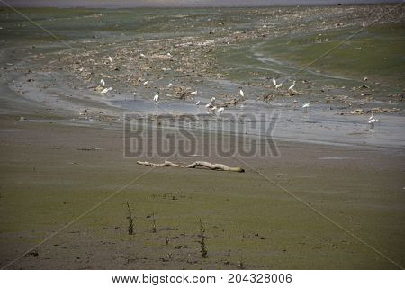 White egret Birds on land while water level up at estuary of Chao phraya river in Samut Prakan Thailand
