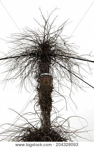 Birds nest on street light with overgrown vine plant branches.