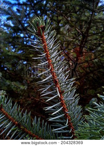 Sitka Spruce Tree Needles in the Woods