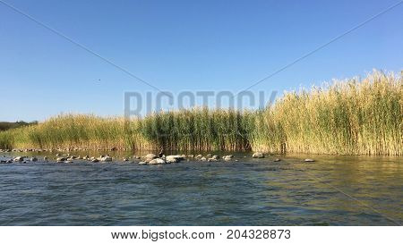 Pampas grass along Orange River in Namibia, Africa