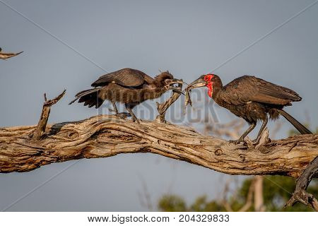 Southern Ground Hornbill Feeding Frog To Juvenile.
