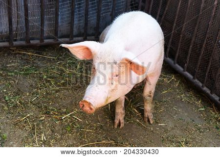 Household small pig sniffs air in farm. Pig farming is raising and breeding of domestic pigs. It is a branch of animal husbandry. Pigs are raised principally as food poster