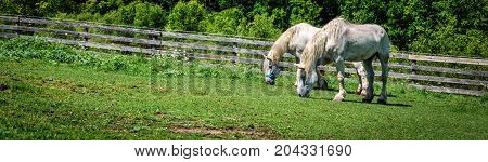Two horses grazing on a Wisconsin hillside.