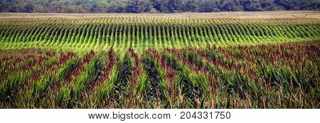 Rows of corn in a midwest field near Manitowoc Wisconsin.