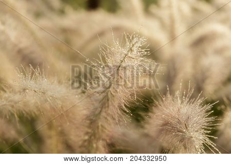 A Fluffy grass with dew at sunshine