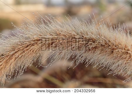 Macro Photo Of Fluffy Grass With Dew