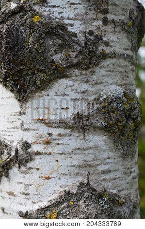 The white bark of an aspen tree