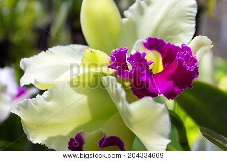 Beautiful lush white and purple orchid flower blooming in tropical climat
