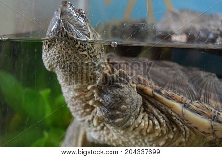 A snapping turtle swimming in a tank
