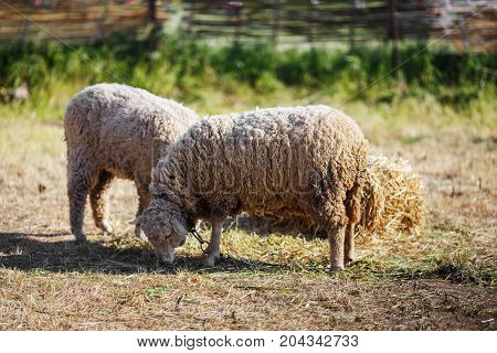 group of sheep grazing in a farmyard