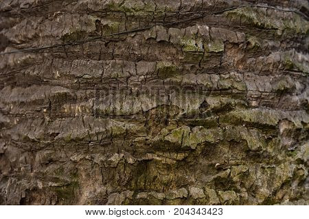 Old cow tree closeup texture. Weathered surface of wood. Rough bark. Natural laminated texture of sawn timber. Obsolete wood. Wood texture/