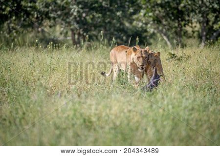 Two Lions Bonding In The Grass.