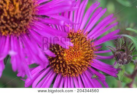 Pink purple cone flowers in garden ECHINACEA PURPUREA PLANT