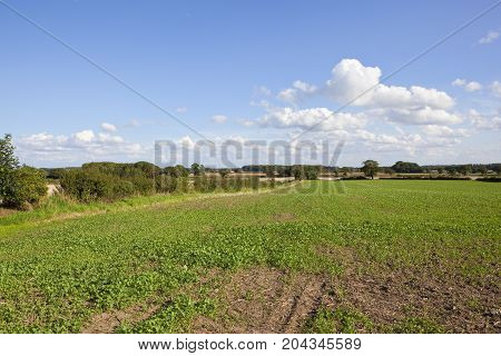 Young Oilseed Rape Crop