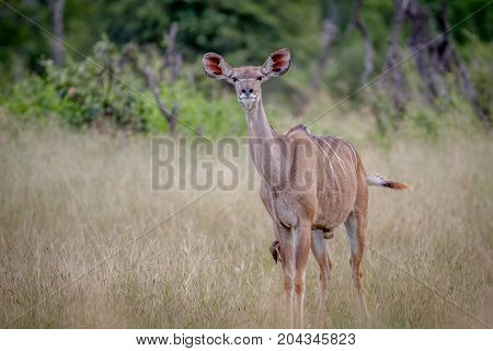 Female Kudu Standing In The Grass.