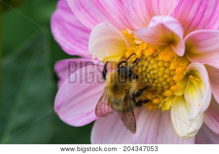 bee collecting nectar on some beautiful flowers.