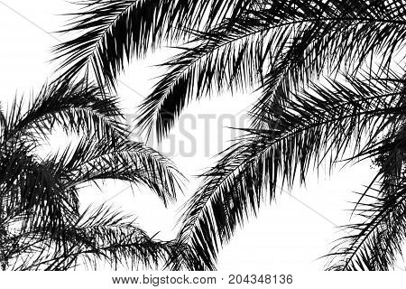 Dark silhouettes of palm leaves on a white background.