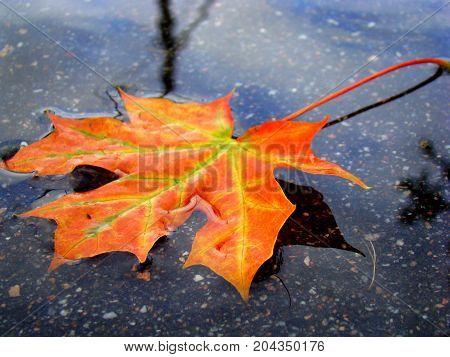 The fiery red maple leaf fell into the cold autumn water.