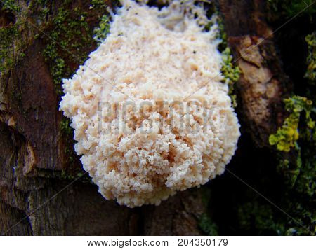 A strange slippery colony of mushrooms hangs on an old damp tree.