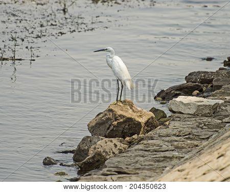 Little Egret Stood On Rock By River Bank