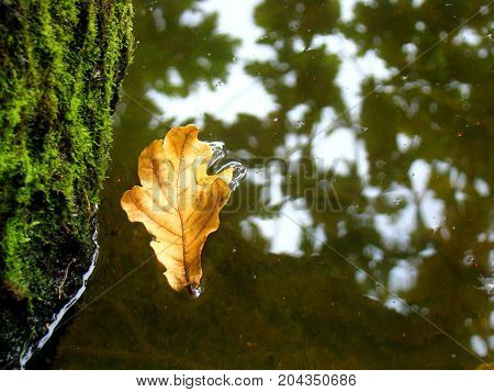 The yellow oak leaf fell into the reflection of trees on the autumn water.